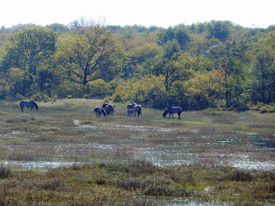 Wildpferde im Naturschutzgebiet Oranjezon bei Vrouwenpolder